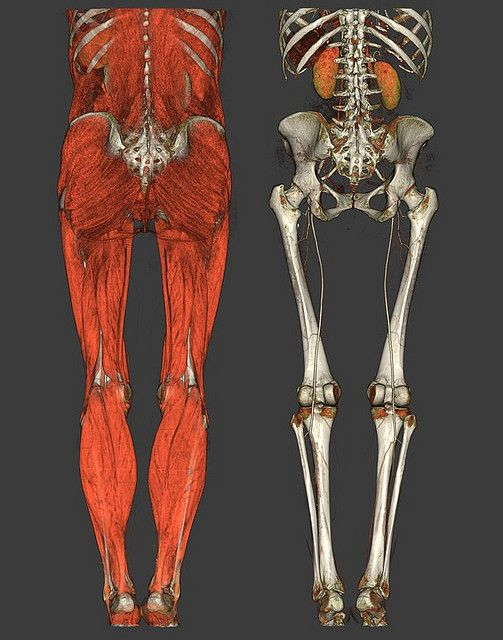 Lower Torso Anatomy Human Anatomy And Anatomy Reference