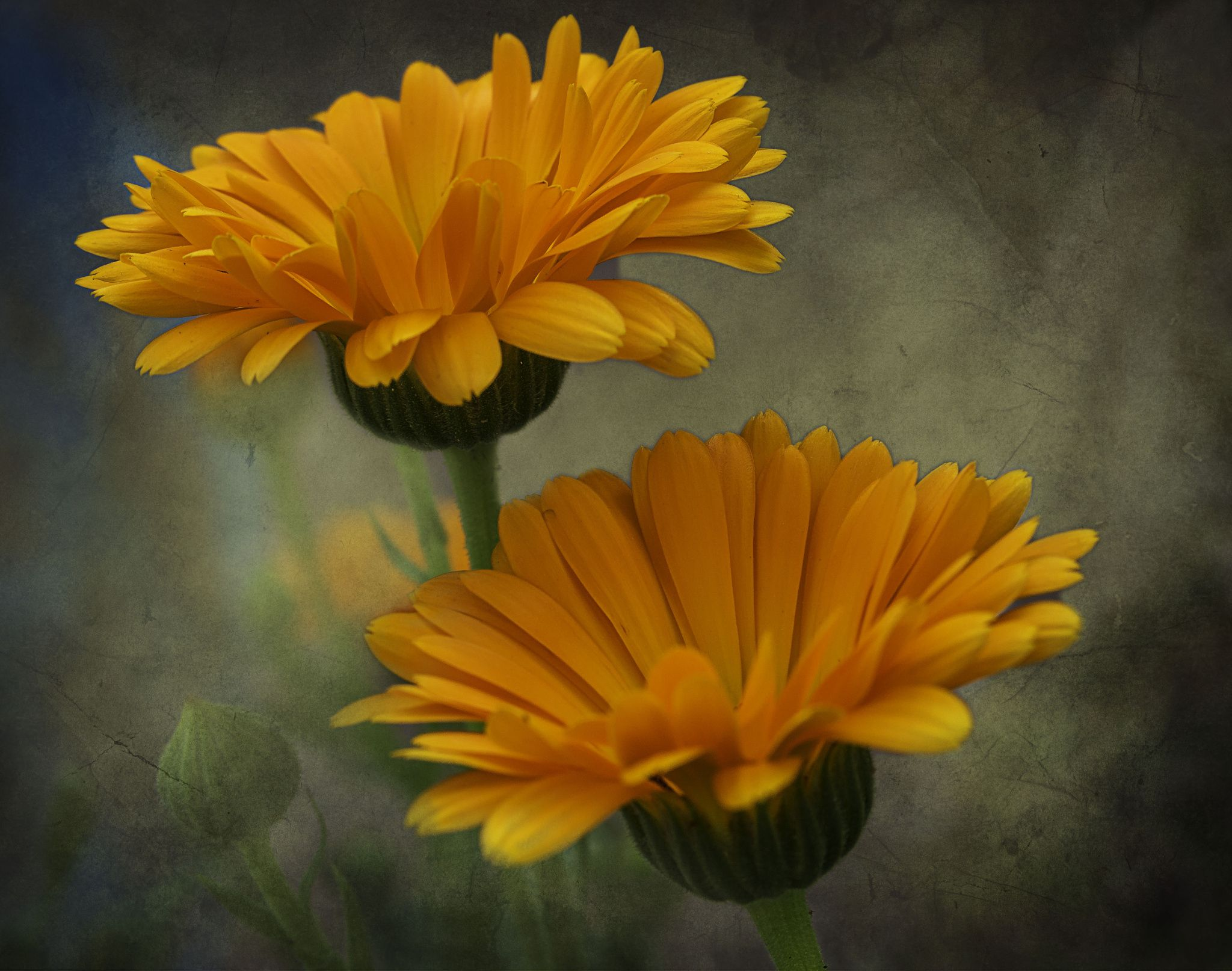 Photo Calendula by Phil Cartwright on 500px