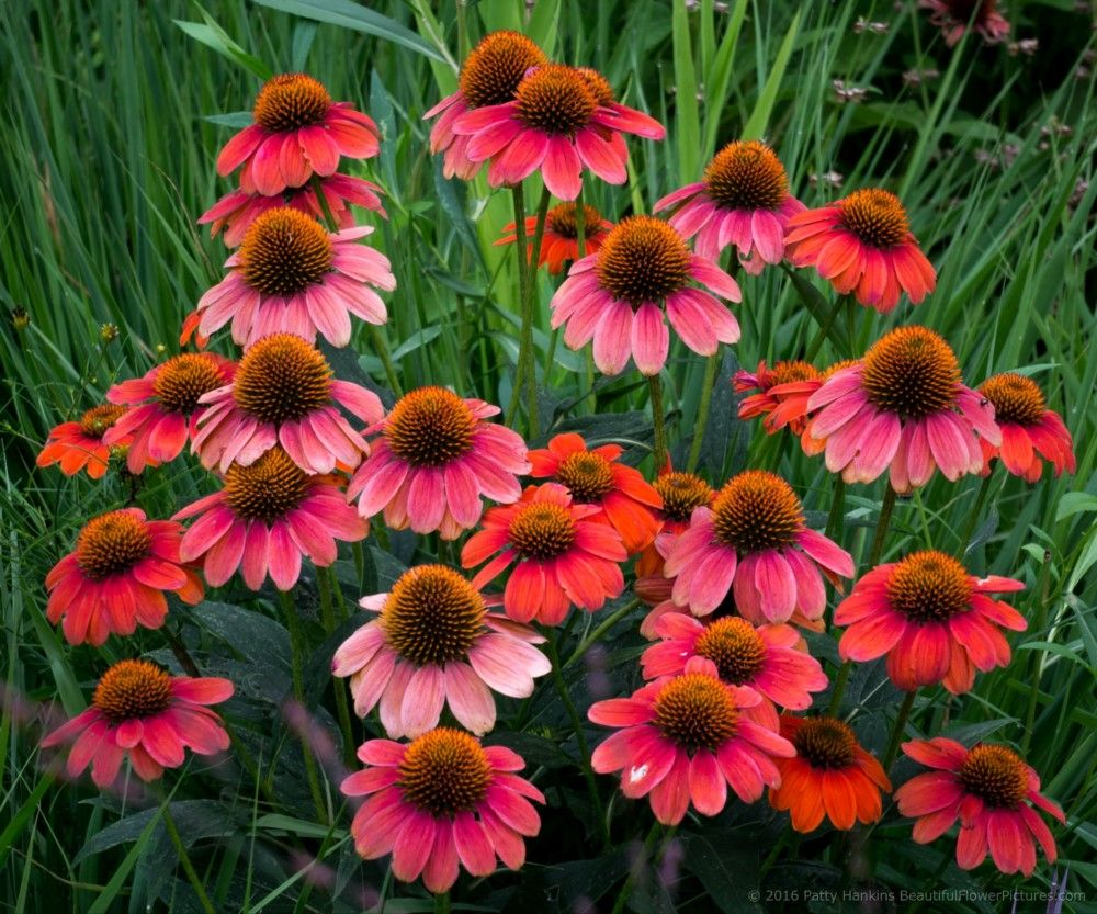 Red Cone Flowers at Brookside Gardens in the DC area by Patty Hankins, Fine Art Floral Photographer.BeautifulFlowerPictures.com