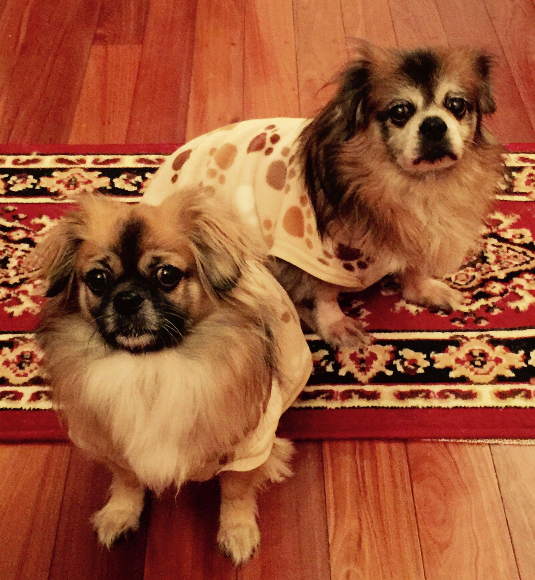 Tibetan Spaniels Sophia & Albert Dogs, Animals, Cute animals