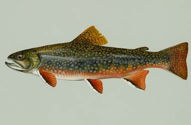 """North Carolina designated the southern Appalachian brook trout as the official freshwater trout in 2005. Sometimes called """"specks"""" because of their unique spotted appearance, the southern Appalachian brook trout (Salvelinus fontinalis) is a genetically distinct species and North Carolina's only native freshwater trout..  Brook trout live under water conditions that are cool, clean and pure and are a favorite of sport fishermen in the cold mountain streams of Western North Carolina."""
