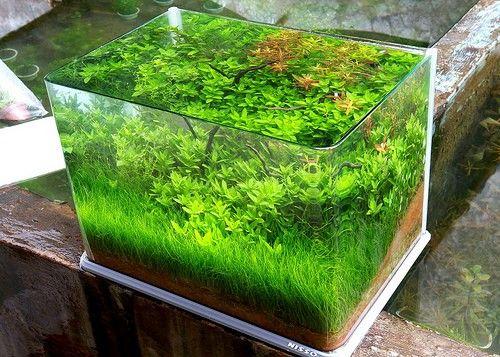 Dwarf Hairgrass And Staurogyne Repens
