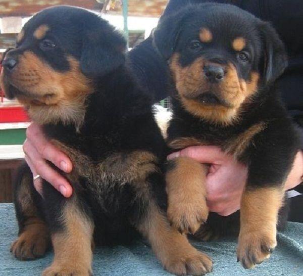 Rottweiler Puppies For Sale Uk Zoe Fans Blog Rottweiler Puppies For Sale Rottweiler Puppies Rottweiler