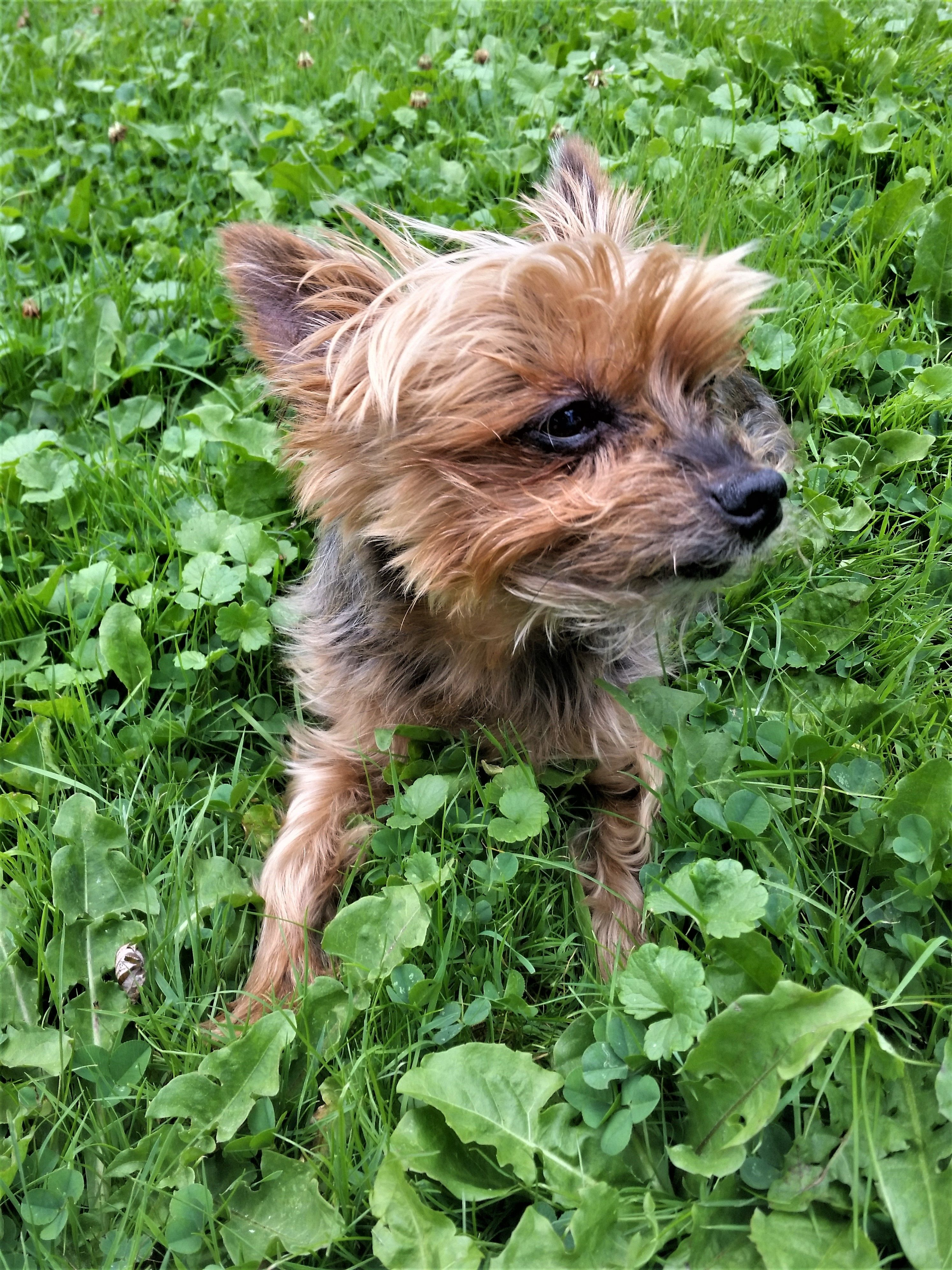 Bailey the Spunky Yorkie Oils for dogs, Yorkie, In his steps