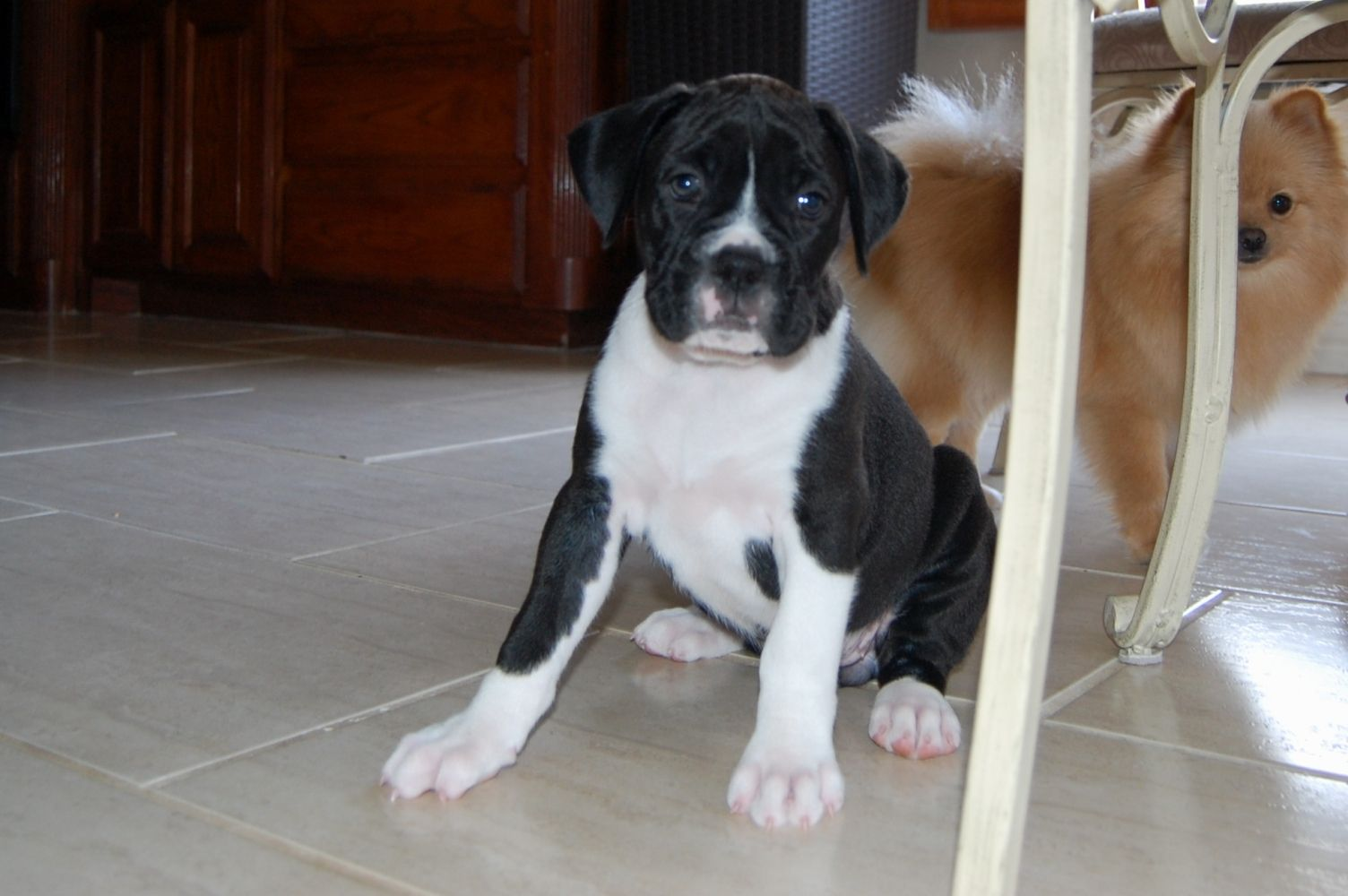 Boxer Puppies For Sale Rum Boxers Boxer Puppies For Sale Boxer Puppies Puppies For Sale
