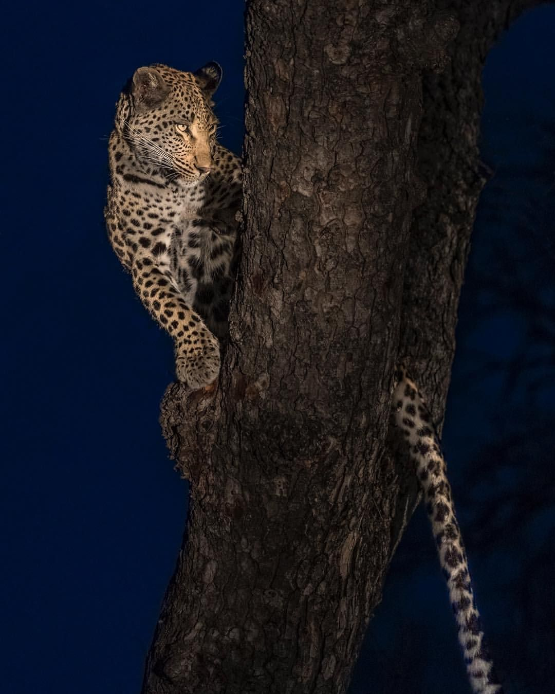 This Stunning Female Leopard Was Lucky Enough To Secure Her Impala