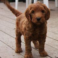 Australian Labradoodle Puppies For Sale Red Labradoodle Puppies