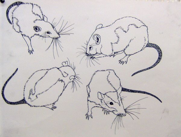 Line Drawing Rat : Kristi omeara 2006ink on bristol rats art graphic pinterest