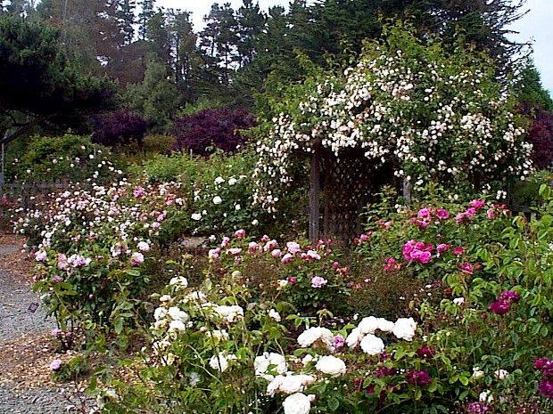 Attrayant Heritage Rose Garden At Mendocino Coast Botanical Gardens   Fort Bragg,  California. #northcliffhotel