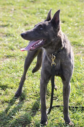 Dutch Shepherd Forum View Topic Eye Color Dutch Shepherd