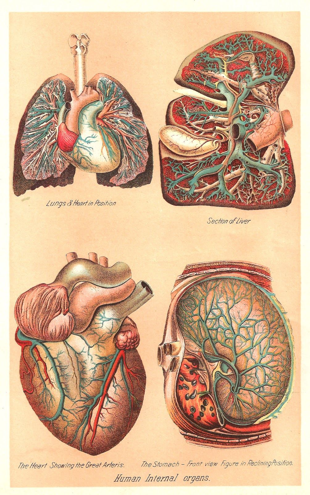 human internal organs, vintage anatomical illustration, 1907 ...