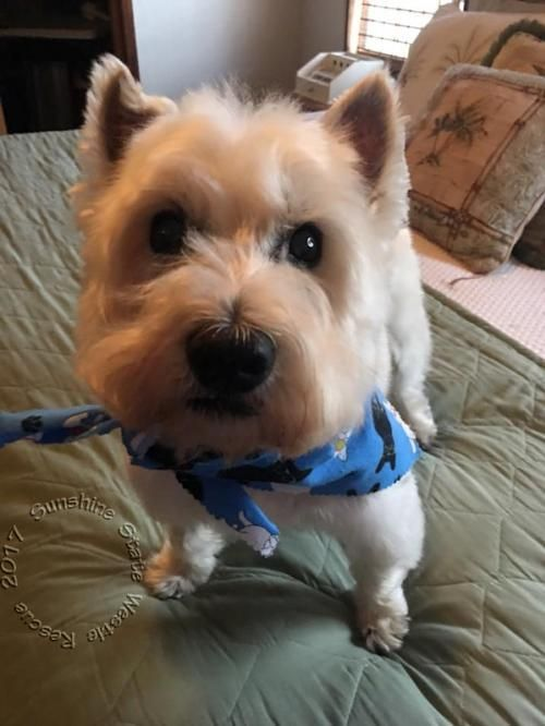Adopt Oliver on West highland white, White terrier and