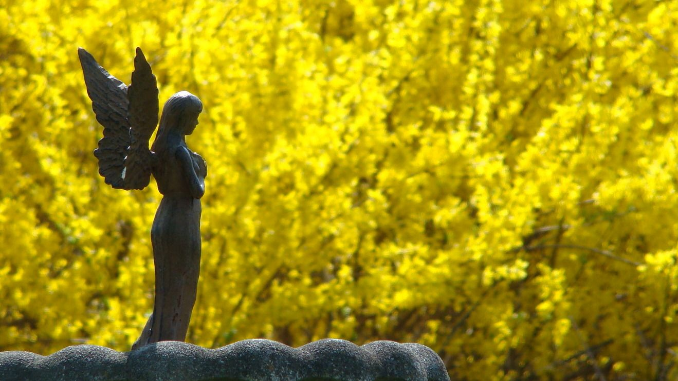 Forsythia Is Great For Landscaping It Is A Bush Of Pure Yellow