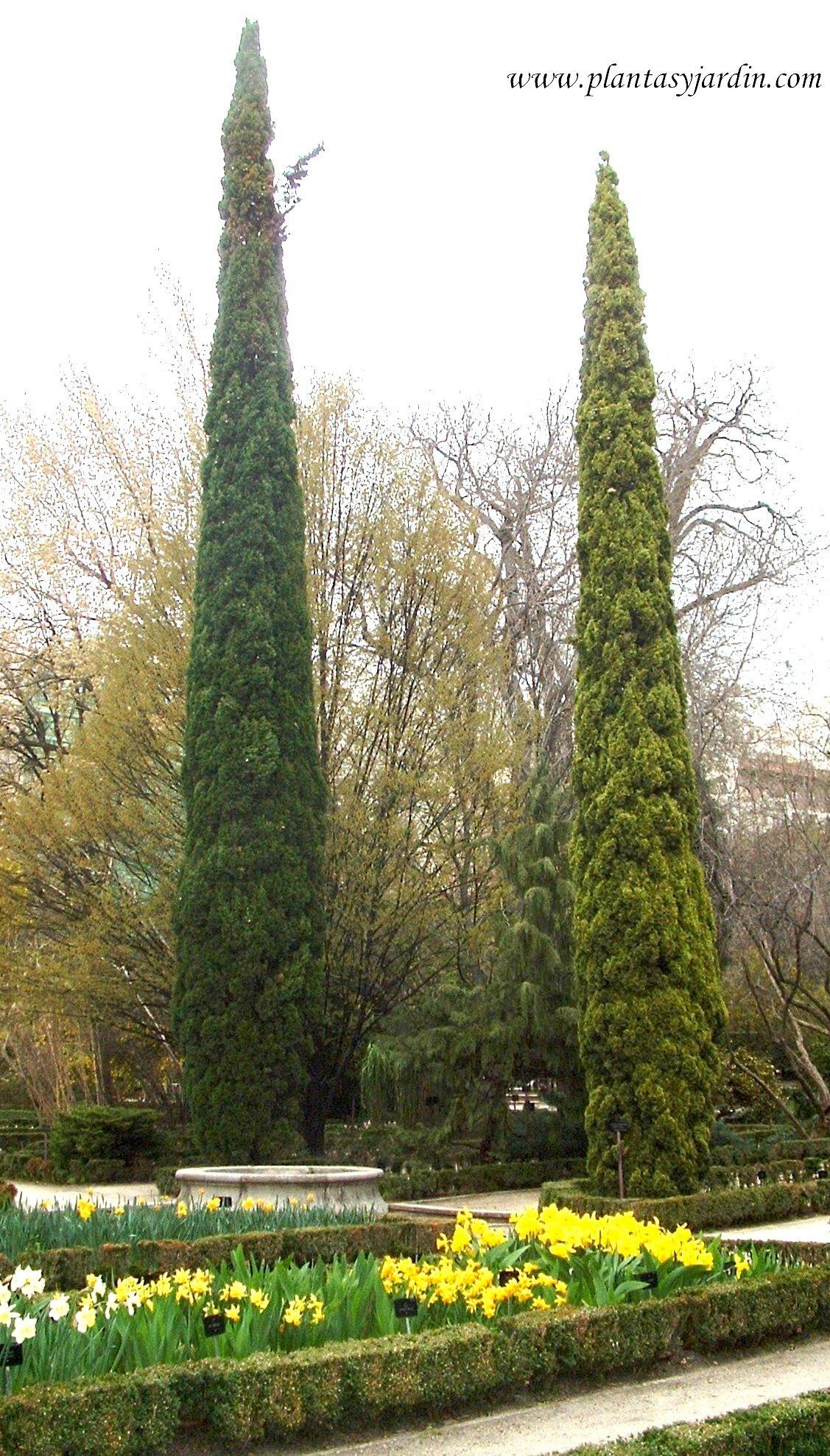 Cupressus sempervirens el cipr s mediterr neo arboles for Jardin cipres