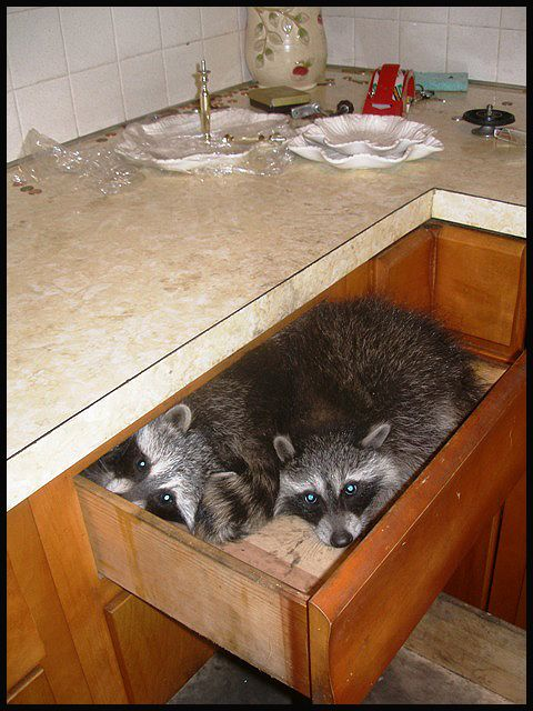 Pin By Peggy S Baker On For The Home Cute Raccoon