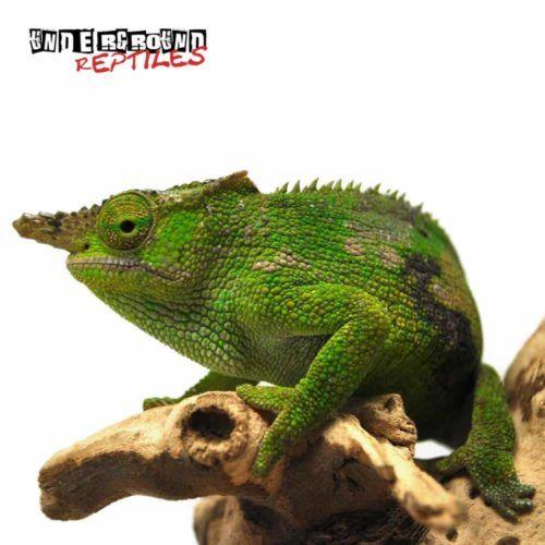 Dwarf Fischer S Chameleon Underground Reptiles Underground