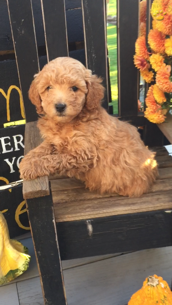 Dexter F1b Mini Goldendoodle Puppy For Sale In Strasburg Pa