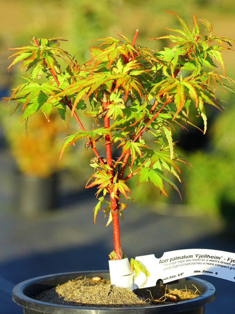 And have Coral bark japanese maple bonsai have