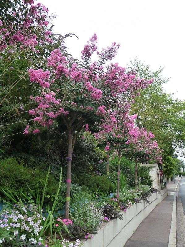 Lilas Des Indes A Suresnes Hauts De Seine Au Jardin Pinterest
