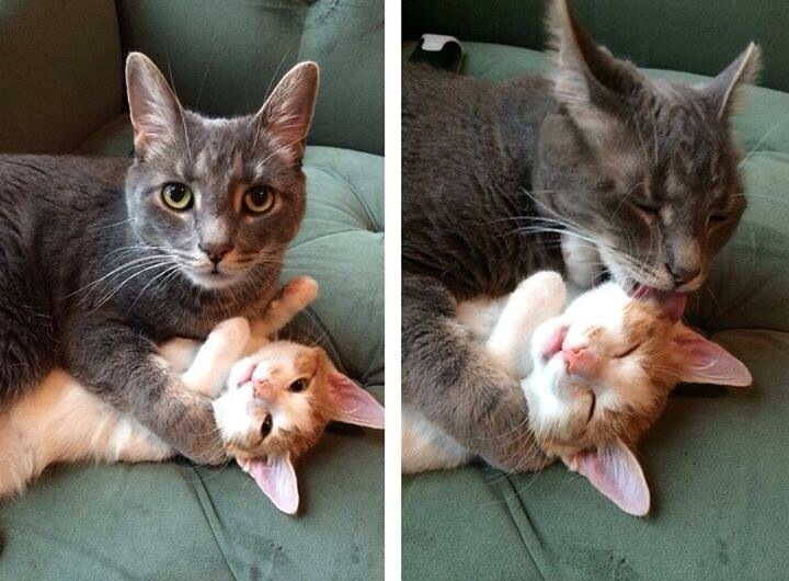 He tackle-groomed the kitten til it fell asleep!