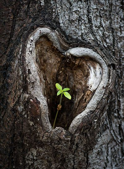 A Young Plant Sprouts Out Of Heart Shaped Knothole In Tilia Tree Lieberose Germany