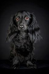 Black Dachshund Puppy Long Haired