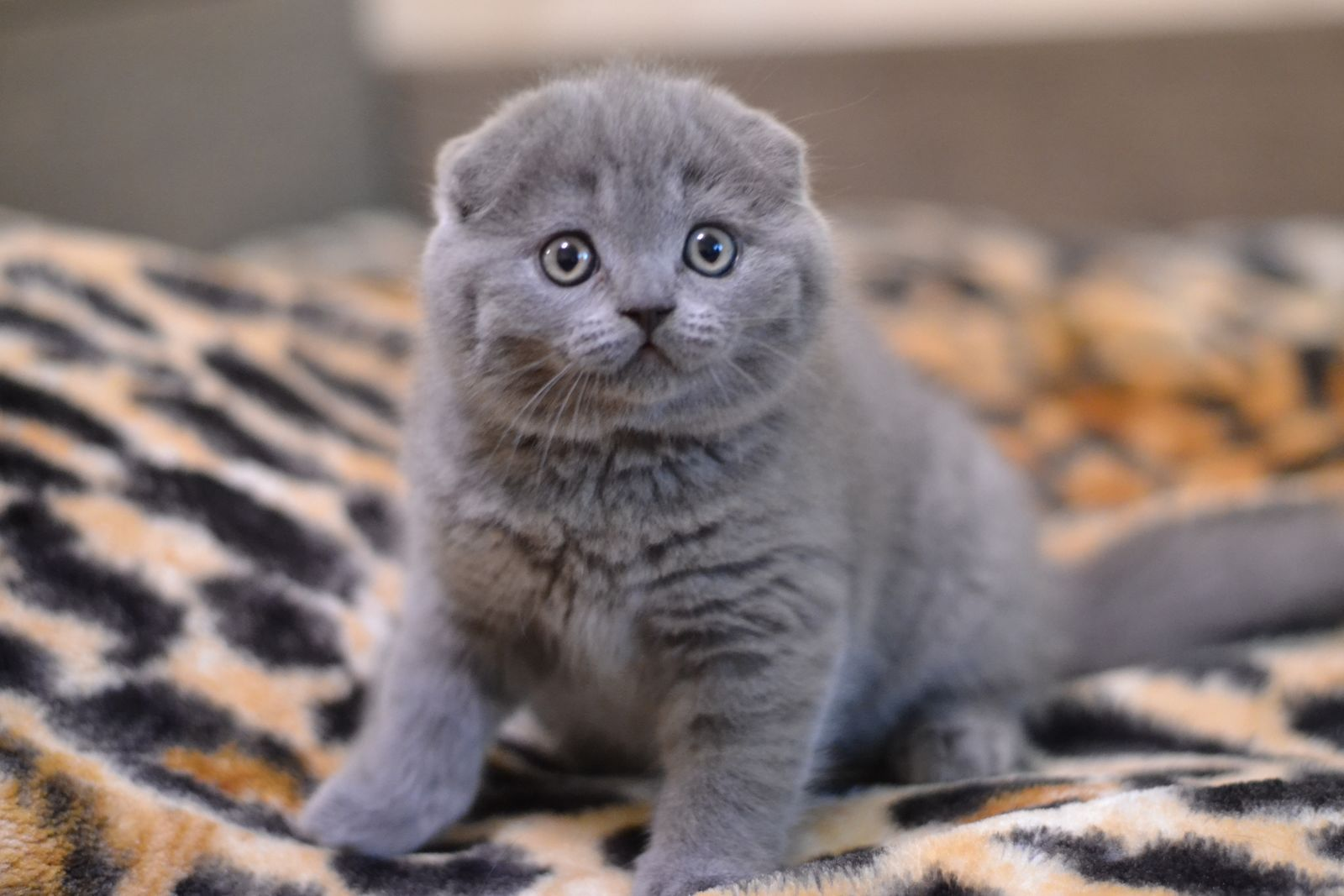 Reserved For Roberta Fl Cendis Scottish Fold In A Blue Color Scottish Fold Happy Paw