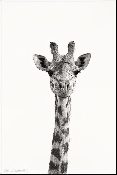 Animales Carteles De Animales Cuadros De Arte Jirafas