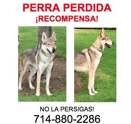 Downtown Los Angeles Sevilen She Weighs 50 Pounds And Is Wearing A Silver Plated Collar Microchipped And Vaccinat Losing A Dog Police Canine Dogs