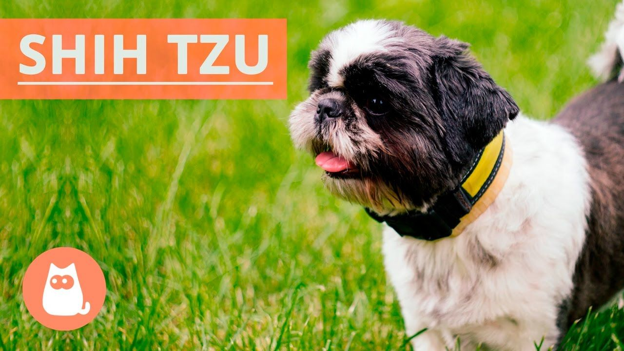 All About the SHIH TZU Traits and History! YouTube