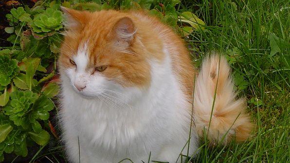 The Norwegian Forest Cat A Quiet Gentle Warrior Norwegian