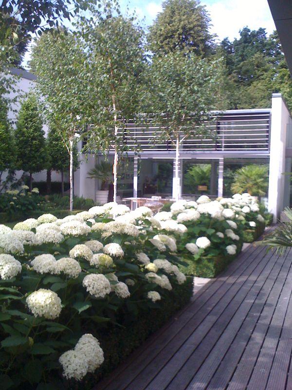 modern garden hydrangea - szukaj