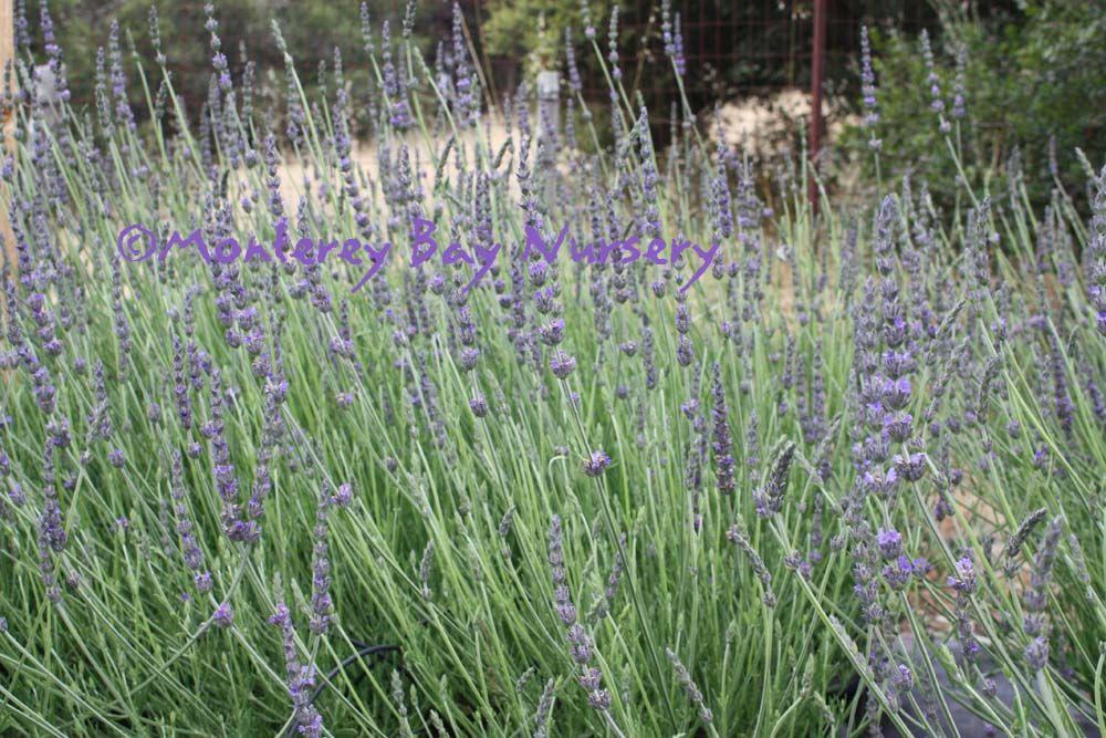 Lavandula Heterophylla Sweet Lavender Lavandula Backyard Plants
