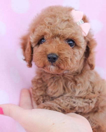 Adorable Toy Poodle Puppy By Teacups Puppies Boutique Poodle