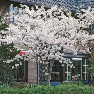 Japanese Yoshino Flowering Cherry Tree Flowering Cherry Tree Yoshino Cherry Tree Flowering Crabapple Tree