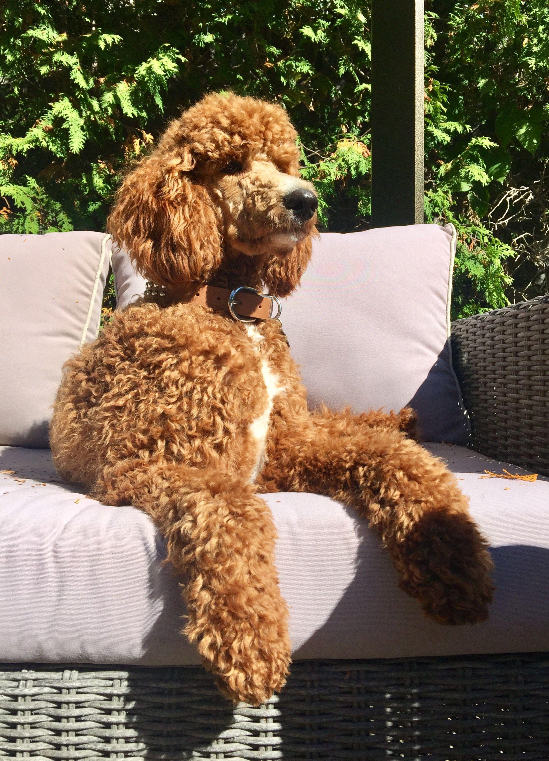Standard Poodle Storm 9 Months Old Red Mismark Standard Poodle