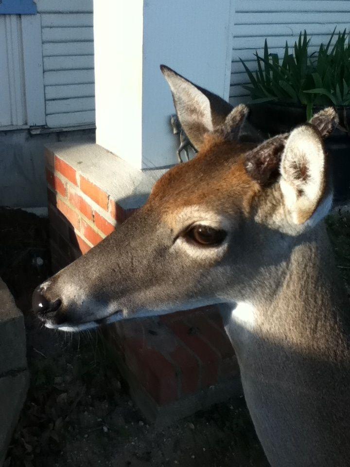My Aunt has a pet deer!!!!!