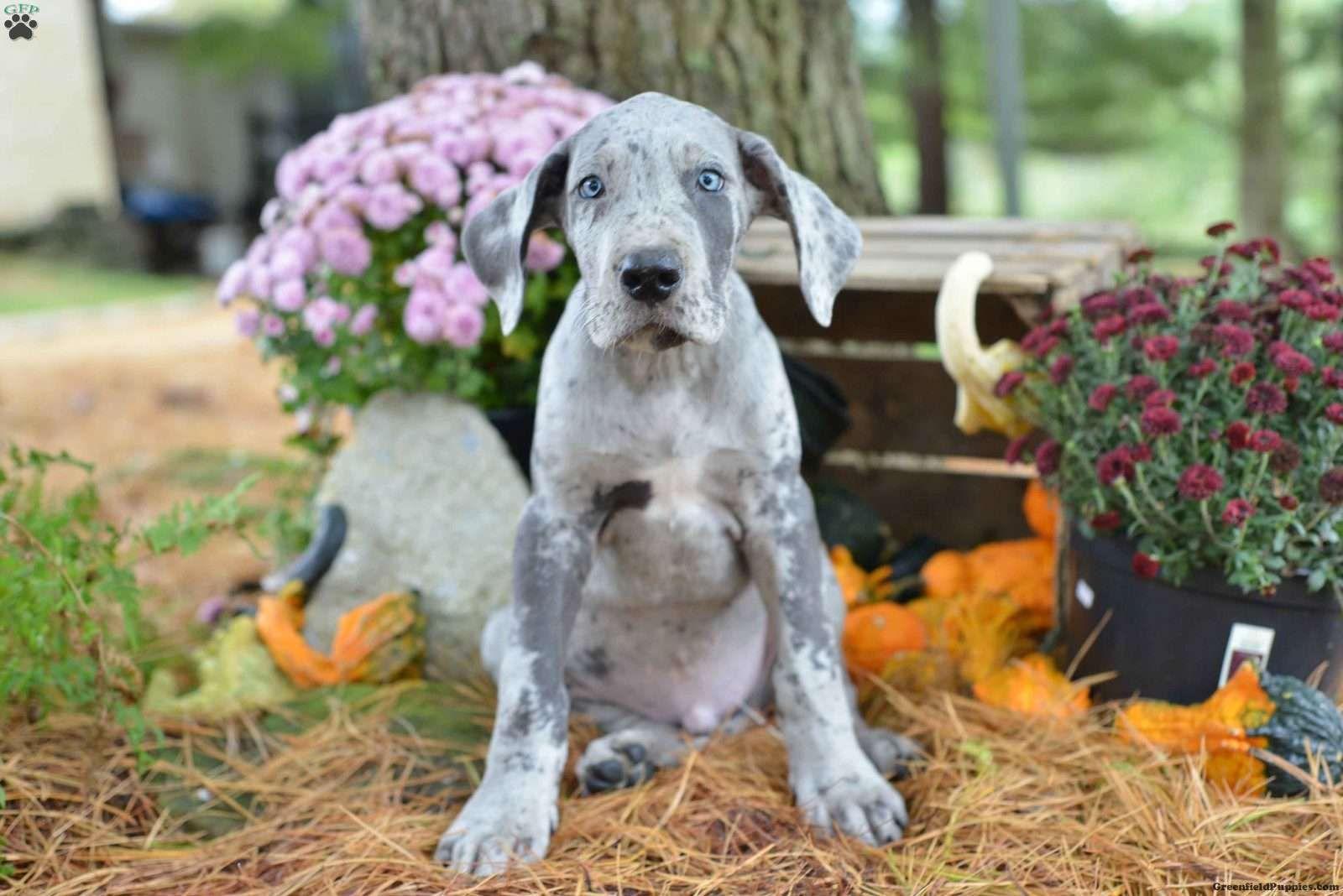 Duke Great Dane Puppy For Sale In Ohio Great Dane Puppy
