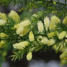 Acacia Verticillata Fabaceae Prickly Moses An Evergreen Shrub To 5m Can Have An Open Or Upright Habit And Is U Evergreen Shrubs Australian Trees Acacia