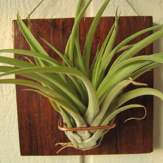 5x5 Veluntia airplant wall mount bamboo hanging by NiaCraft, $17.50