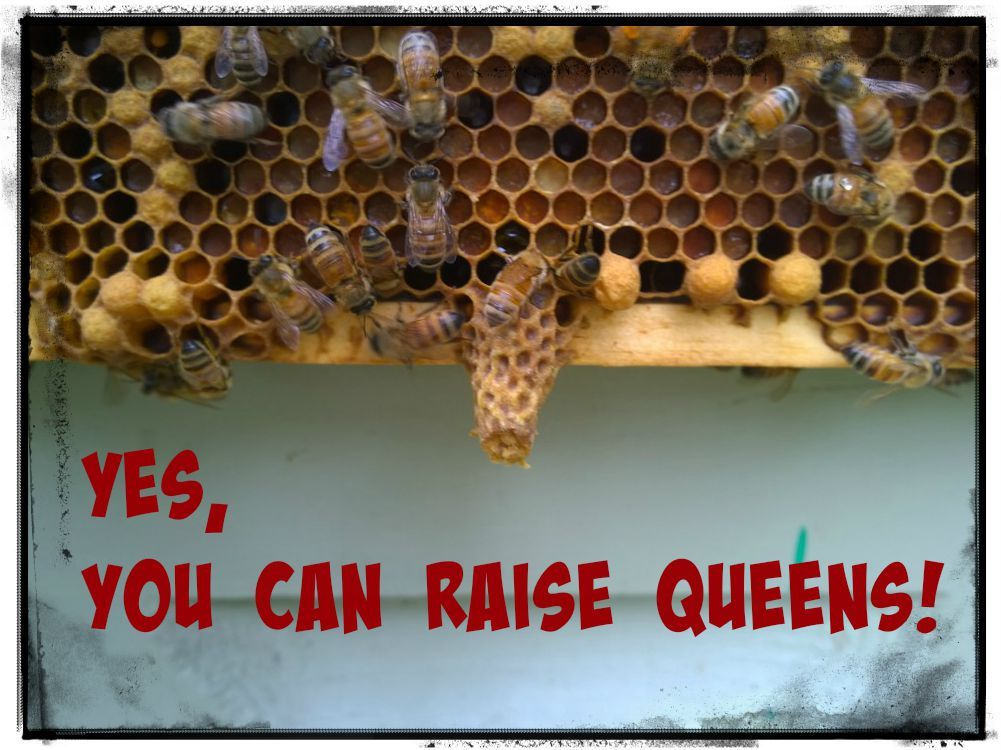 Yes, You Can Raise Queens! | Bee keeping, Queen, Queen bees