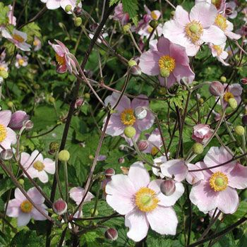 Gaissmayer Stauden anemone tomentosa robustissima herbst anemone mit stauden