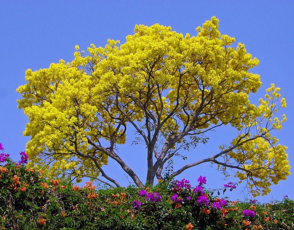 Guayacan amarillo motivation pinterest amarillo - Clases de flores amarillas ...