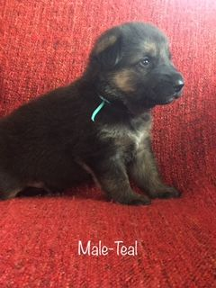 Litter Of 9 German Shepherd Dog Puppies For Sale In Ypsilanti Mi