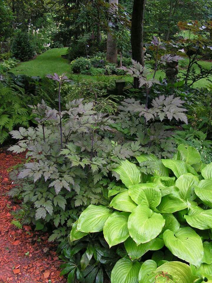 Cimifiga in ohio shade plants planting