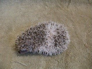 Hedgehog Baby Cute Adorable Hedgehogs Pinterest - This instagram account will satisfy your addiction for adorable hedgehogs