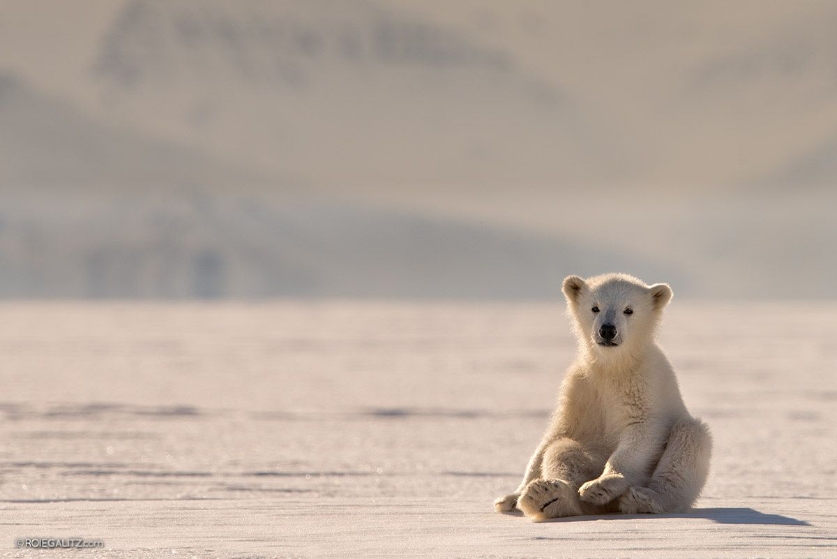 Polar Bear Baby by Roie Galitz on 500px