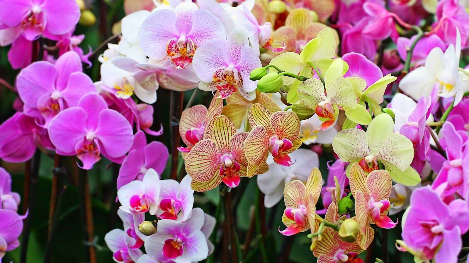 Orchid Wallpaper (70 Wallpapers) - HD Wallpapers