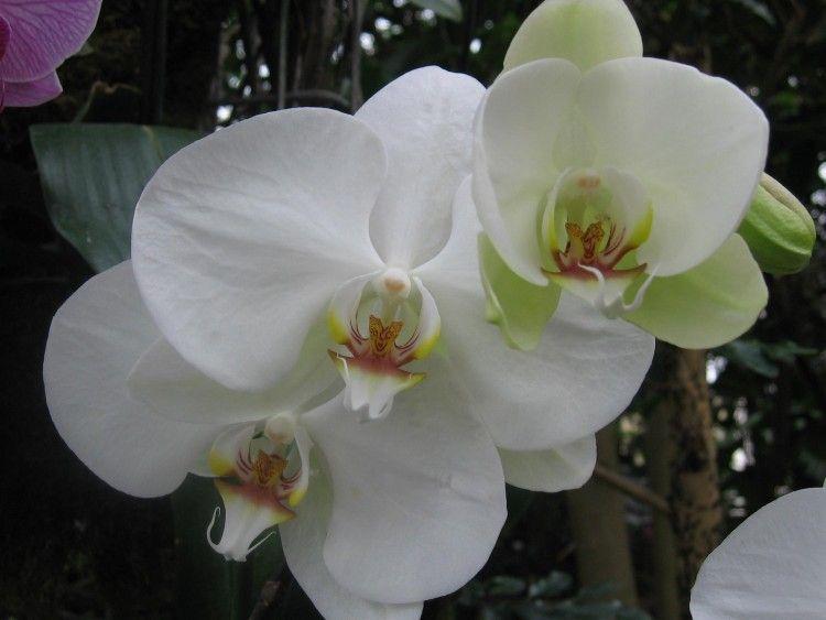Fonds D Ecran Nature Fonds D Ecran Fleurs 3 Belles Orchidees Blanches Par Gavroche Hebus Com Orchidee Blanche Fond D Ecran Orchidee Orchidee