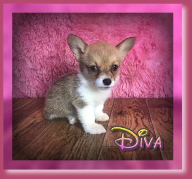 Diva Female Corgi 800 Corgi Pembroke Welsh Corgi Puppies Welsh Corgi Puppies